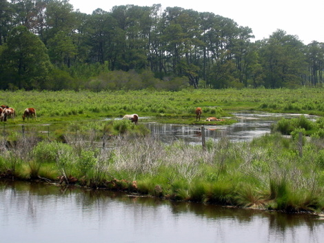 Feral ponies laze in the marsh on Assateague Island